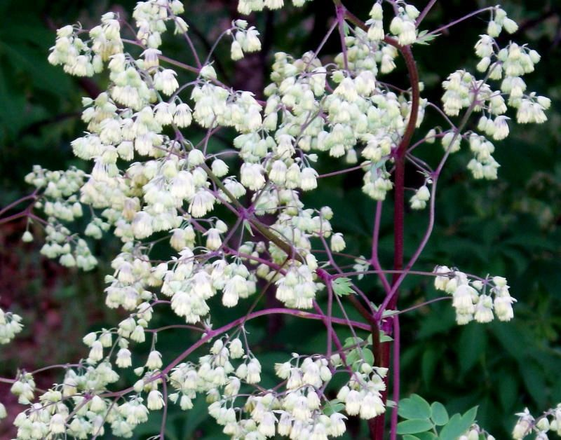 "{""blocks"":[{""key"":""1dvc8"",""text"":""Thalictrum dasycarpum Purple Meadow Rue - potted plants email john@easywildflowers.com  "",""type"":""unstyled"",""depth"":0,""inlineStyleRanges"":[],""entityRanges"":[],""data"":{}}],""entityMap"":{}}"