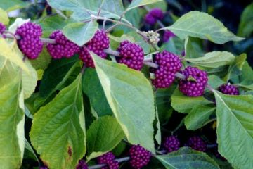 Callicarpa americana French Mulberry Large Showy Shrub, Fruits attract Songbirds native potted plant