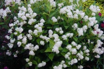 Ceanothus americanus New Jersey Tea Small Shrub, native wildflower butterfly host potted plant