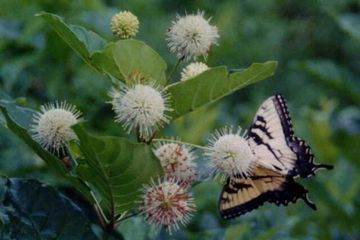 Cephalanthus occidentalis Common Buttonbush Shrub with Tiger Swallowtail Butterfly - Potted Plants