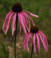 "{""blocks"":[{""key"":""dq7sq"",""text"":"" Echinacea simulata wavyleaf purple Glade - Coneflower potted plants  john@easywildflowers.com \t "",""type"":""unstyled"",""depth"":0,""inlineStyleRanges"":[],""entityRanges"":[],""data"":{}}],""entityMap"":{}}"