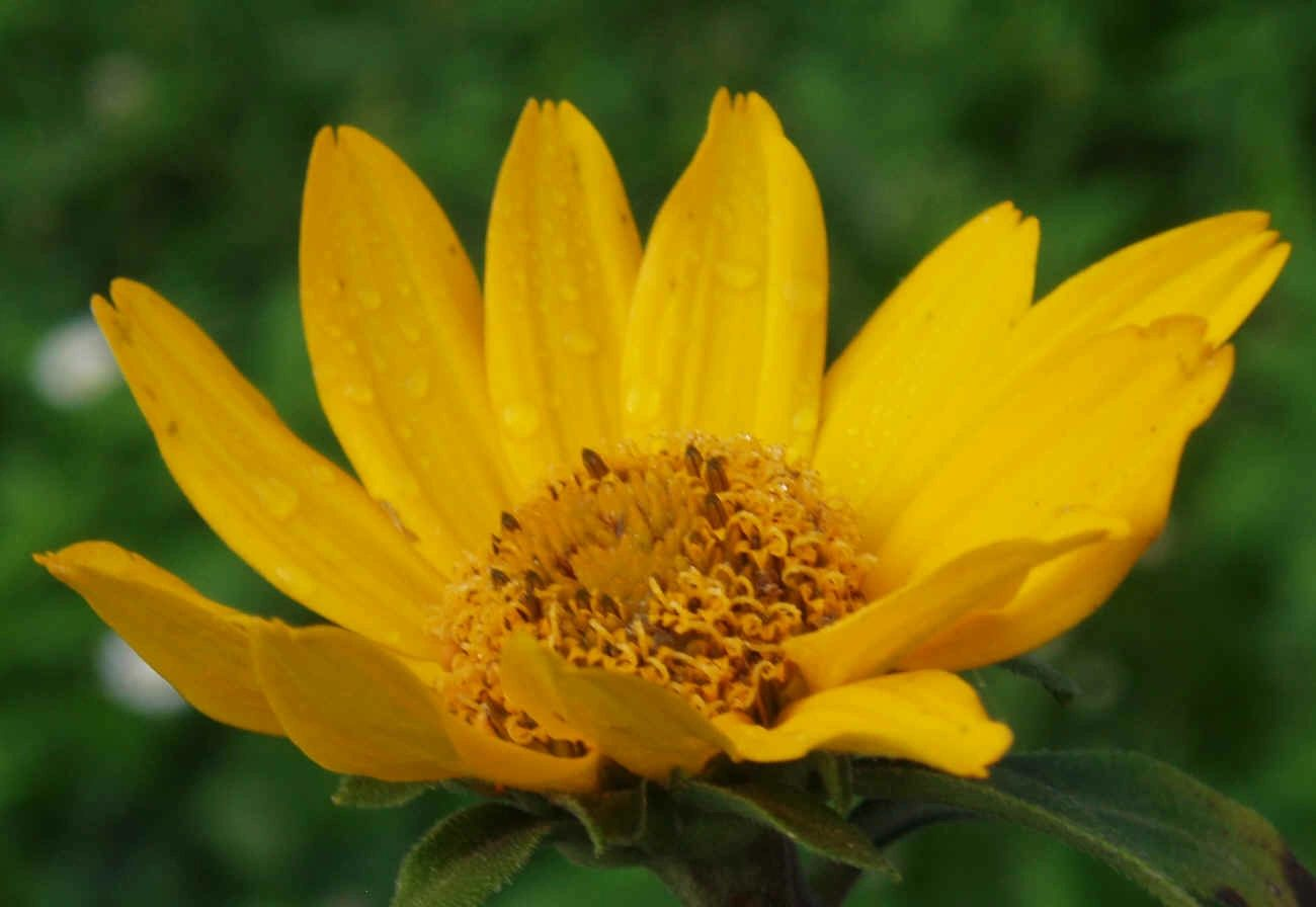 "{""blocks"":[{""key"":""71oev"",""text"":""Heliopsis helianthoides False Sunflower Oxeye Sunflower - potted plants email john@easywildflowers.com"",""type"":""unstyled"",""depth"":0,""inlineStyleRanges"":[],""entityRanges"":[],""data"":{}}],""entityMap"":{}}"