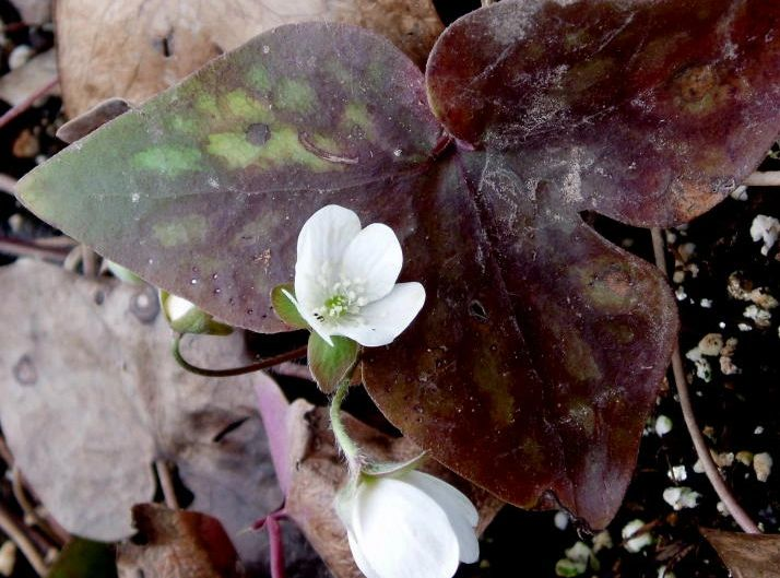 "{""blocks"":[{""key"":""5f6op"",""text"":""Hepatica nobilis var. acuta Sharp-Lobed Hepatica liver lead  - potted plants email john@easywildflowers.com"",""type"":""unstyled"",""depth"":0,""inlineStyleRanges"":[],""entityRanges"":[],""data"":{}}],""entityMap"":{}}"