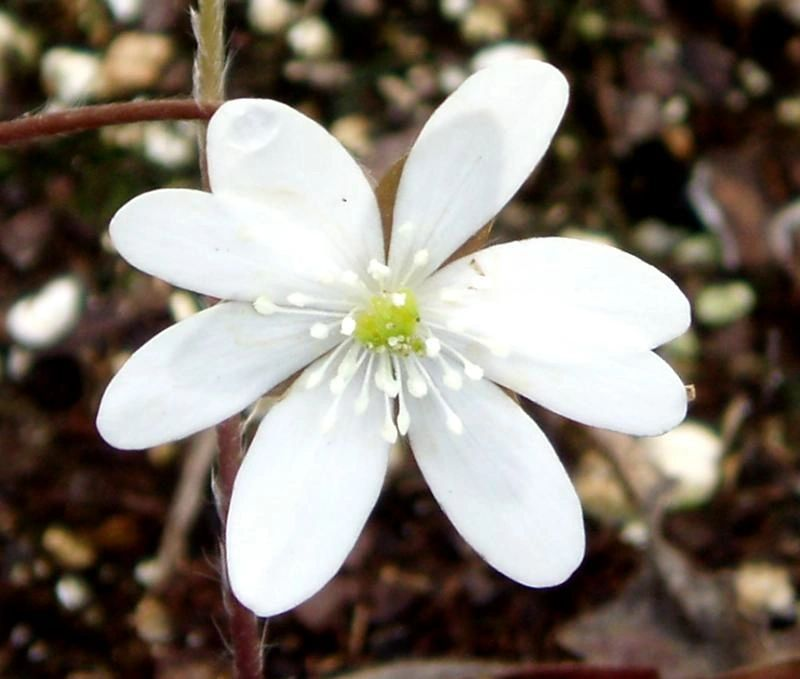 "{""blocks"":[{""key"":""3n0fu"",""text"":""Hepatica nobilis var. acuta Sharp-Lobed Hepatica liver lead  - potted plants email john@easywildflowers.com"",""type"":""unstyled"",""depth"":0,""inlineStyleRanges"":[],""entityRanges"":[],""data"":{}}],""entityMap"":{}}"