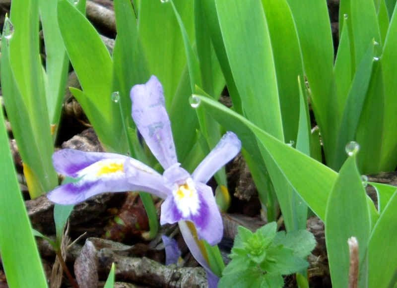 "{""blocks"":[{""key"":""10tbs"",""text"":""Iris cristata Dwarf Crested Iris  -  potted plants email john@easywildflowers.com"",""type"":""unstyled"",""depth"":0,""inlineStyleRanges"":[],""entityRanges"":[],""data"":{}}],""entityMap"":{}}"