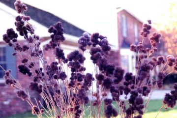 Lespedeza capitata Round-headed Bushclover seed heads potted plants