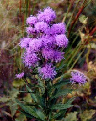 "{""blocks"":[{""key"":""53nkp"",""text"":"" Liatris scariosa Eastern Blazing Star Gayfeather -  potted plants email john@easywildflowers.com"",""type"":""unstyled"",""depth"":0,""inlineStyleRanges"":[],""entityRanges"":[],""data"":{}}],""entityMap"":{}}"