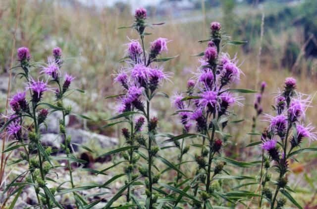 "{""blocks"":[{""key"":""bkn6g"",""text"":"" Liatris squarrosa Scaly Blazing Star Gayfeather -  potted plants email john@easywildflowers.com"",""type"":""unstyled"",""depth"":0,""inlineStyleRanges"":[],""entityRanges"":[],""data"":{}}],""entityMap"":{}}"