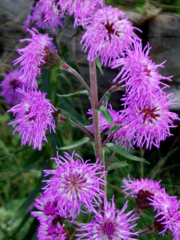 "{""blocks"":[{""key"":""1s9pv"",""text"":"" Liatris scariosa Eastern Blazing Star Gayfeather -  potted plants email john@easywildflowers.com"",""type"":""unstyled"",""depth"":0,""inlineStyleRanges"":[],""entityRanges"":[],""data"":{}}],""entityMap"":{}}"