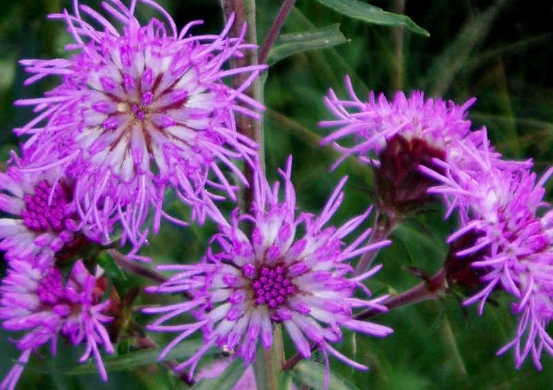 "{""blocks"":[{""key"":""di7kc"",""text"":"" Liatris scariosa Eastern Blazing Star Gayfeather -  potted plants email john@easywildflowers.com"",""type"":""unstyled"",""depth"":0,""inlineStyleRanges"":[],""entityRanges"":[],""data"":{}}],""entityMap"":{}}"