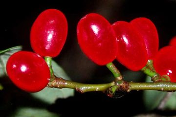 Fruits seeds Lindera benzoin Northern Spice Bush Allspice Shrub butterfly host potted plant