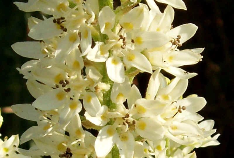 "{""blocks"":[{""key"":""bdgmi"",""text"":"" Melanthium virginicum (Veratrum)  Bunchflower Lily -  potted plants email john@easywildflowers.com "",""type"":""unstyled"",""depth"":0,""inlineStyleRanges"":[],""entityRanges"":[],""data"":{}}],""entityMap"":{}}"
