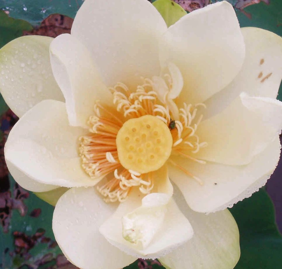 "{""blocks"":[{""key"":""3pglp"",""text"":""Nelumbo lutea American Lotus  (water  plant) -  seeds are available  email john@easywildflowers.com"",""type"":""unstyled"",""depth"":0,""inlineStyleRanges"":[],""entityRanges"":[],""data"":{}}],""entityMap"":{}}"