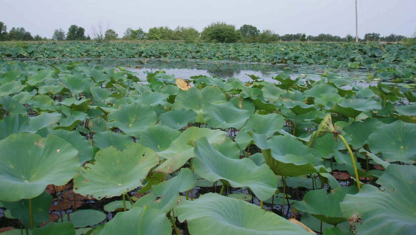 "{""blocks"":[{""key"":""dur97"",""text"":""Nelumbo lutea American Lotus  (water  plant) -  seeds are available  email john@easywildflowers.com"",""type"":""unstyled"",""depth"":0,""inlineStyleRanges"":[],""entityRanges"":[],""data"":{}}],""entityMap"":{}}"