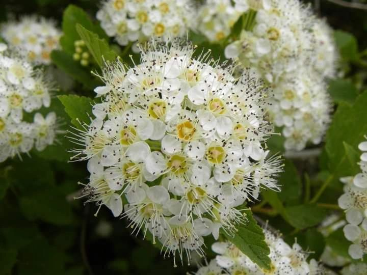 "{""blocks"":[{""key"":""9kn34"",""text"":""Physocarpus opulifolius Ninebark shrub - potted plants email john@easywildflowers.com  "",""type"":""unstyled"",""depth"":0,""inlineStyleRanges"":[],""entityRanges"":[],""data"":{}}],""entityMap"":{}}"