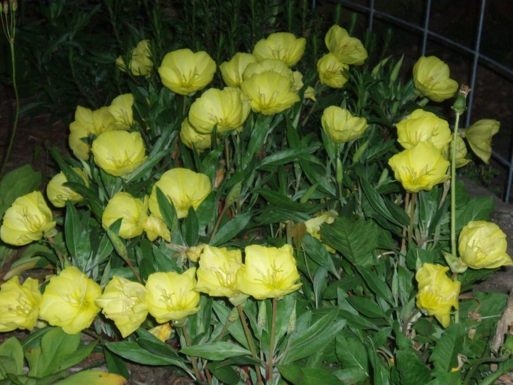 "{""blocks"":[{""key"":""bmo9"",""text"":""Oenothera macrocarpa Missouri primrose -  potted plants email john@easywildflowers.com"",""type"":""unstyled"",""depth"":0,""inlineStyleRanges"":[],""entityRanges"":[],""data"":{}}],""entityMap"":{}}"