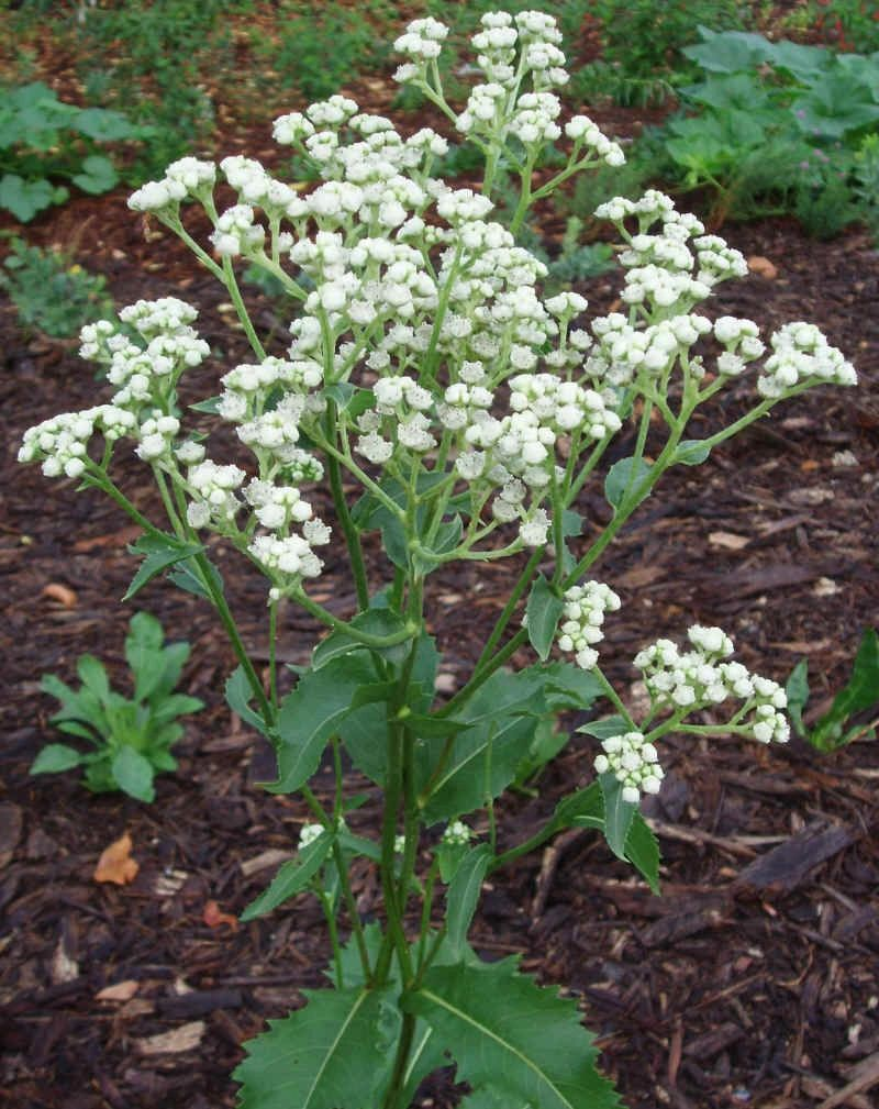 "{""blocks"":[{""key"":""la4j"",""text"":""Parthenium integrifolium Wild Quinine - potted plants email john@easywildflowers.com "",""type"":""unstyled"",""depth"":0,""inlineStyleRanges"":[],""entityRanges"":[],""data"":{}}],""entityMap"":{}}"