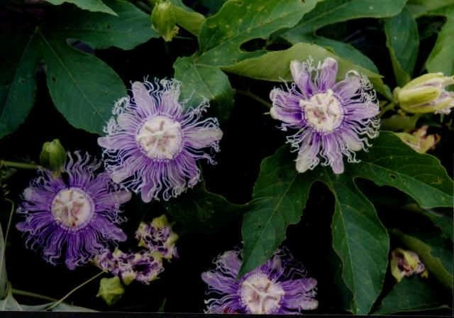 "{""blocks"":[{""key"":""c8ed6"",""text"":"" Passiflora incarnata Passion Flower vine - potted plants email john@easywildflowers.com "",""type"":""unstyled"",""depth"":0,""inlineStyleRanges"":[],""entityRanges"":[],""data"":{}}],""entityMap"":{}}"