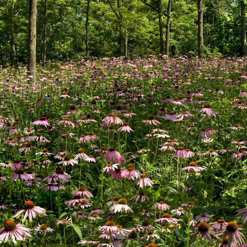 "{""blocks"":[{""key"":""1cp14"",""text"":""photo Echinacea purpurea Purple Coneflower -  potted plants email john@easywildflowers.com "",""type"":""unstyled"",""depth"":0,""inlineStyleRanges"":[],""entityRanges"":[],""data"":{}}],""entityMap"":{}}"