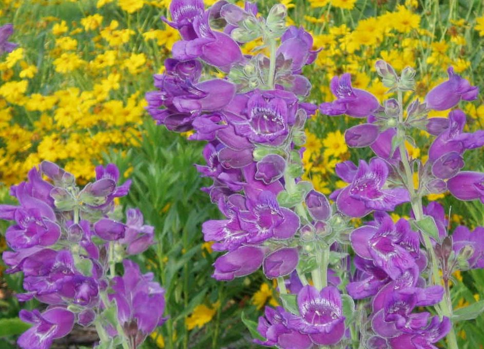 "{""blocks"":[{""key"":""3v22i"",""text"":""Penstemon cobaea var. purpureus  Showy Beard Tongue with lanceleaf coreopsis- potted plants email john@easywildflowers.com"",""type"":""unstyled"",""depth"":0,""inlineStyleRanges"":[],""entityRanges"":[],""data"":{}}],""entityMap"":{}}"