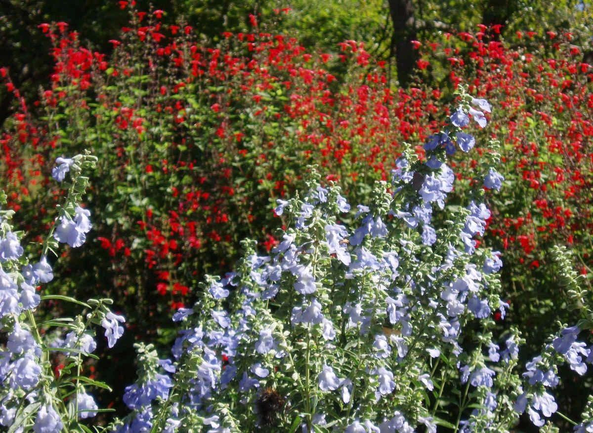 "{""blocks"":[{""key"":""faq6k"",""text"":""Salvia azurea Blue Sage with scarlet sage  - potted plants email john@easywildflowers.com "",""type"":""unstyled"",""depth"":0,""inlineStyleRanges"":[],""entityRanges"":[],""data"":{}}],""entityMap"":{}}"