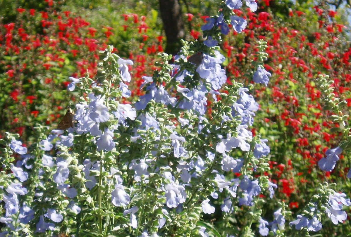 "{""blocks"":[{""key"":""3a3ht"",""text"":""Salvia azurea Blue Sage with scarlet sage  - potted plants email john@easywildflowers.com "",""type"":""unstyled"",""depth"":0,""inlineStyleRanges"":[],""entityRanges"":[],""data"":{}}],""entityMap"":{}}"