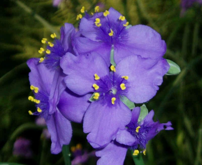 "{""blocks"":[{""key"":""e9ocp"",""text"":""Tradescantia ohiensis Ohio Spiderwort - potted plants email john@easywildflowers.com "",""type"":""unstyled"",""depth"":0,""inlineStyleRanges"":[],""entityRanges"":[],""data"":{}}],""entityMap"":{}}"