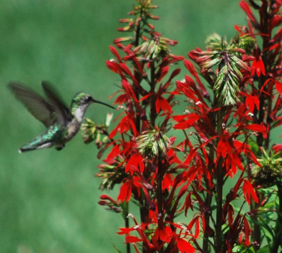 "{""blocks"":[{""key"":""i92q"",""text"":"" Female Rubythroat Hummingbird on Lobelia cardinalis Red Cardinal Flower - potted plants email john@easywildflowers.com  "",""type"":""unstyled"",""depth"":0,""inlineStyleRanges"":[],""entityRanges"":[],""data"":{}}],""entityMap"":{}}"
