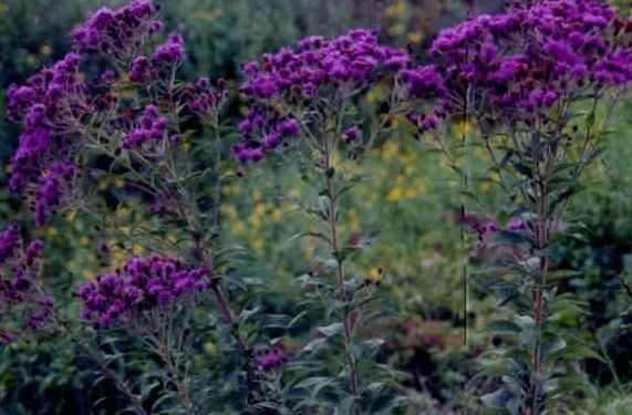 "{""blocks"":[{""key"":""3jalq"",""text"":""Vernonia baldwinii Western Ironweed -  potted plants email john@easywildflowers.com "",""type"":""unstyled"",""depth"":0,""inlineStyleRanges"":[],""entityRanges"":[],""data"":{}}],""entityMap"":{}}"