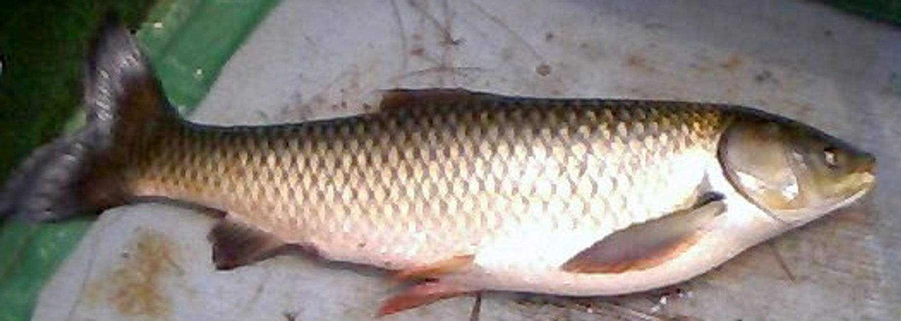 Overton Fisheries Fish Farm & Hatchery Stocks Triploid Grass Carp in Texas Lakes & Ponds
