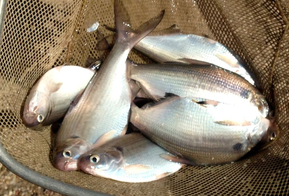 Overton Fisheries Fish Farm & Hatchery Stocks Texas Lakes & Ponds with Gizzard Shad