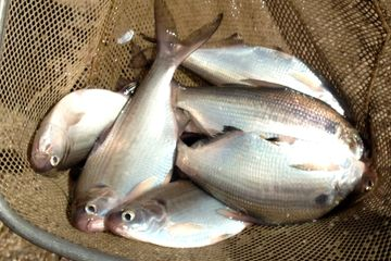 Overton Fisheries Fish Farm & Hatchery Stocks Texas Lakes & Pond with Gizzard Shad.