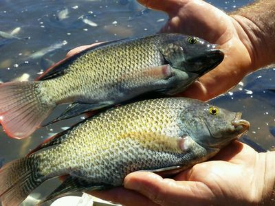 Overton Fisheries Fish Farm & Hatchery Stocks Mozambique Tilapia in Texas Lakes & Ponds