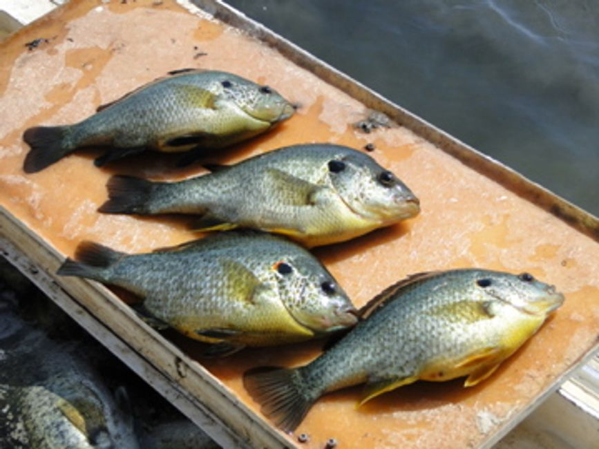 Overton Fisheries Fish Farm & Hatchery Stocks Texas Lakes & Ponds with Redear Sunfish