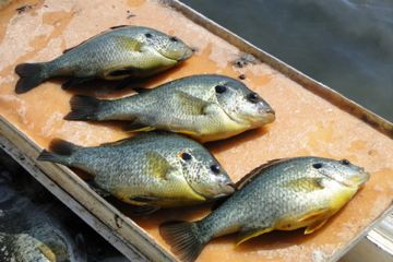 Overton Fisheries Fish Farm & Hatchery Stocks Texas Lakes & Ponds with Redear Sunfish.  Live Fish