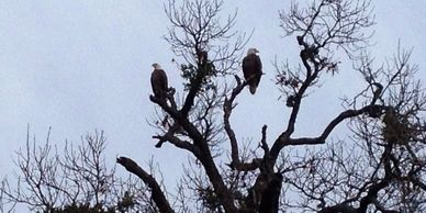 Bald Eagles at Overton Fisheries