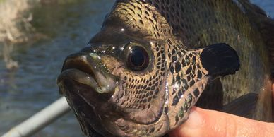 Overton Fisheries Fish Farm & Hatchery Stocks Coppernose Bluegill & Redear Sunfish in Texas Lakes