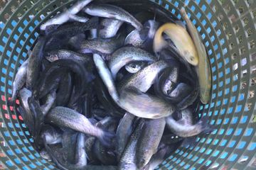 Overton Fisheries Fish Farm & Hatchery Stocks Texas Lakes & Ponds with Rainbow Trout Fingerlings