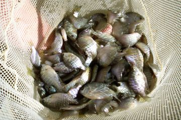 Overton Fisheries Fish Farm & Hatchery Stocks Texas Lakes & Ponds with Coppernose Bluegill.