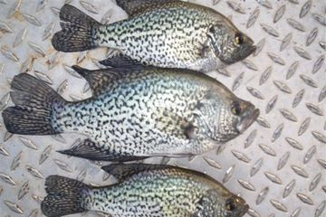 Overton Fisheries Fish Farm & Hatchery Stocks Texas Lakes & Ponds with Black Crappie