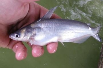 Overton Fisheries Fish Farm & Hatchery  Stocks Texas Lakes & Ponds with High Fin Blue Catfish.