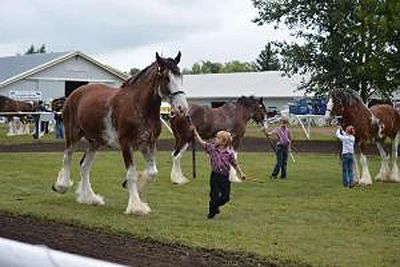 Wildwood Clydesdales Showing in Vermilion