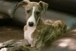 Whippet Puppy Pet  Whippet dog for sale Central Florida Trained Vaccinated playful good conformation