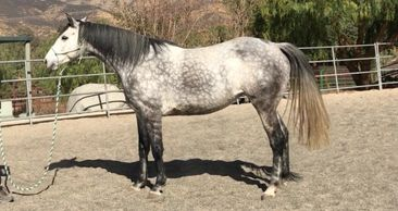 Rearing KHALEESI Horse for Production in Los Angeles, CA
