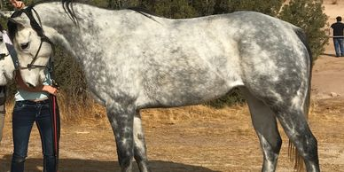 NEYTERI Dapple Gray Horse for Production in Los Angeles, CA