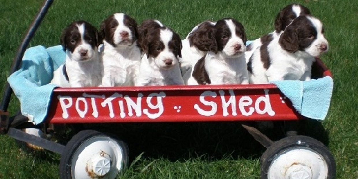 *Springer spaniel puppies* *Field Bred Springers* / Field Bred English Springer Spaniels/