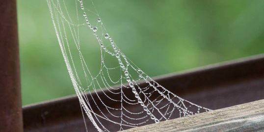 Dew droplets on a web
