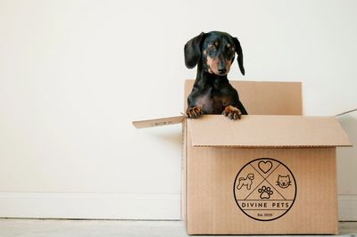 Dachshund playing in a Divine Pets delivery box