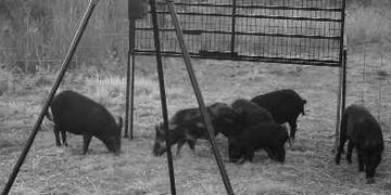 Florida Wild Hogs in Trap