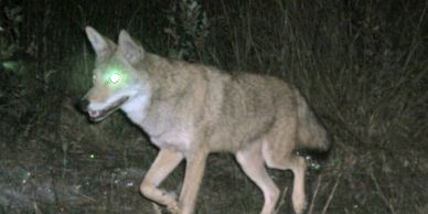 Jacksonville Coyote Removal, Nuisance coyote, coyote in neighborhood, coyotes in Jacksonville